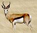 afrikaanse-springbok